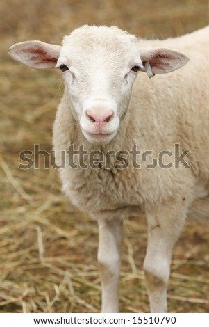 White lamb with tagged ear against background of blurred straw. Vertical format. - stock photo