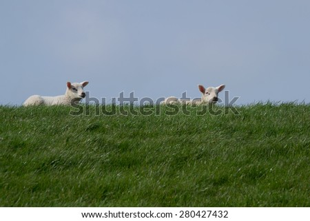 White lambs on green grass with clear blue sky, enjoying the sun  - stock photo