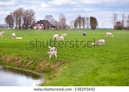 white lambs with sheep on Dutch pastoral, Friesland - stock photo