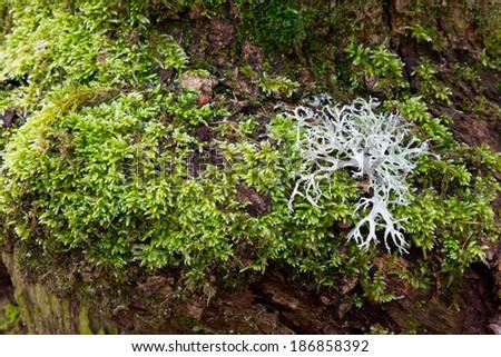 White lichen species on tree moss - stock photo