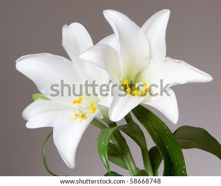 white lilies - stock photo