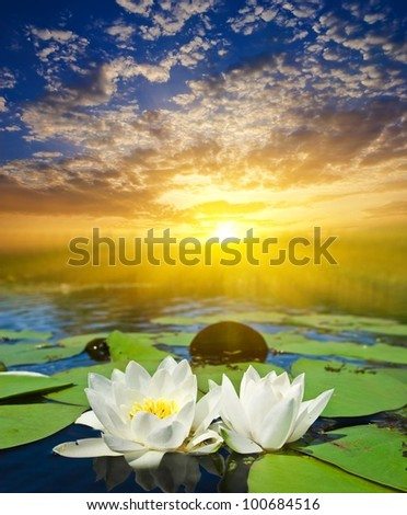 white lilies at the sunset - stock photo