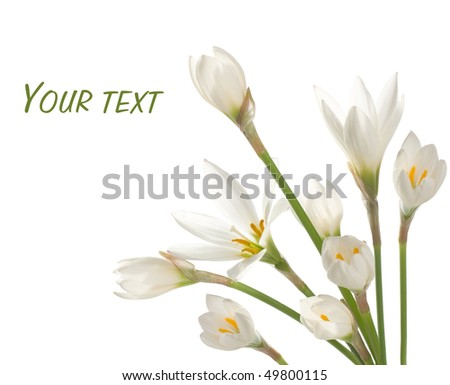 white lilies ' bunch on a white background. zephyranthes candida - stock photo