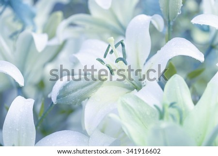 White lilies in garden with dewdrops. Lilium lancifolium.White lily flower - stock photo