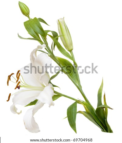 White Lilly flower on isolated background - stock photo