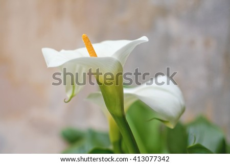 White lilly in the garden - stock photo