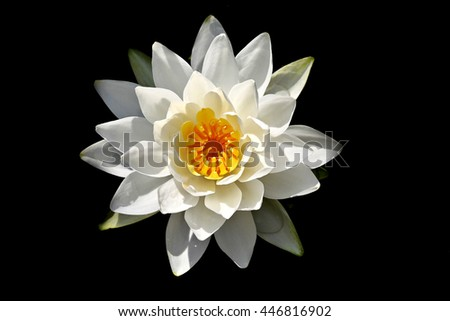 White lilly isolated on a black background - stock photo