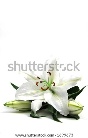 white lilly tall isolated with copy space