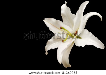 White lily against a black background - stock photo