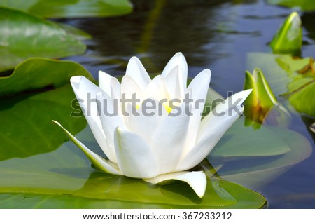 White lily against the blue water and green leaves on the lake - stock photo