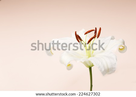 White lily close-up macro shot in a studio on pastel background - stock photo