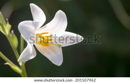White lily flower - stock photo