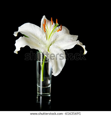 white lily flower in a small glass on reflective surface isolated  on black background; - stock photo