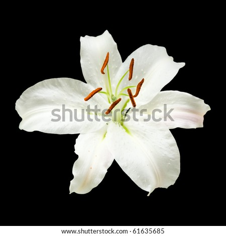 white lily flower isolated on black background; square crop; - stock photo