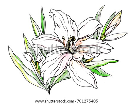 White lily flower buds blossom hand stock illustration 701275405 white lily flower with buds blossom hand drawn decorative watercolor tropical plant on white background mightylinksfo