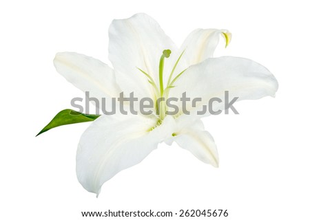white lily isolated on a white background