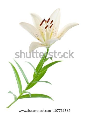 White lily. Isolated on white background - stock photo