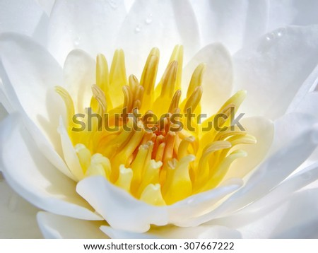 White lily with a water drops on the petals. Lotus flower. Macro. Closeup. Beautiful. White Egyptian lotus, white lotus, Egyptian white water-lily (Nymphaea lotus). Yellow stamens. - stock photo