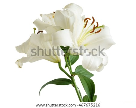 white lily with brown pollen