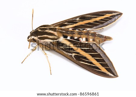 White-lined Sphinx Moth, hyles lineata, Sphingidae family, The fore wing is dark brown with a tan stripe which extends from the base to the apex. There are also white lines that cover the veins. - stock photo