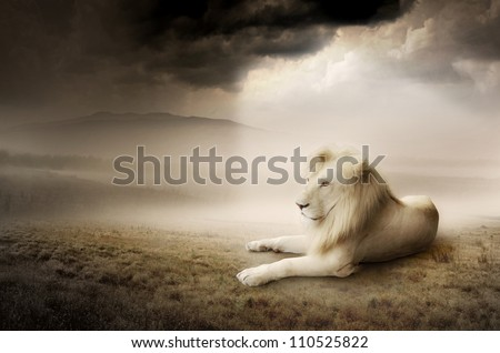 White lion at sunset - stock photo