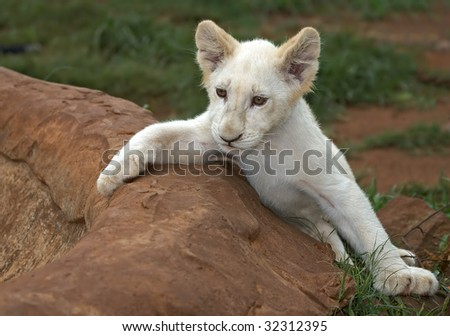 Pedigree Blue Heeler Puppy Australian Cattle Stock Photo ...