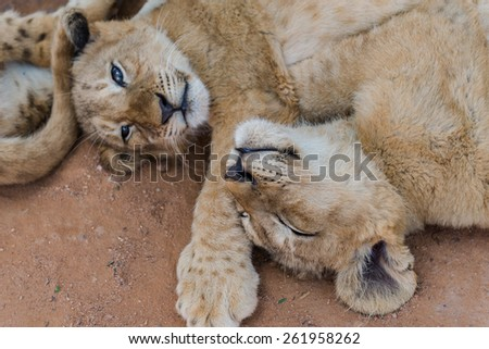 White lion cubs, South Africa.