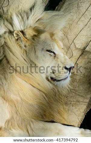 White lion exotic animals sleeping and resting