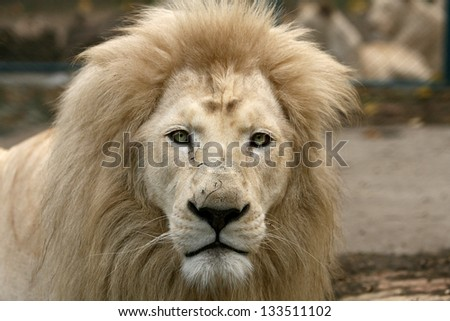 White lion looking in camera