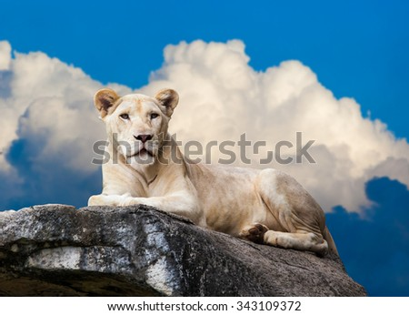 White Lion. portrait of lioness.  Lioness lying on rock - stock photo