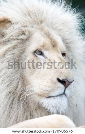 White lion profile  - stock photo