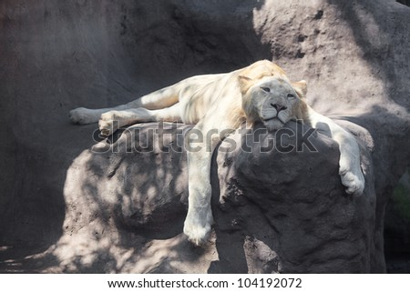 White lion resting in the shade at the zoo - stock photo