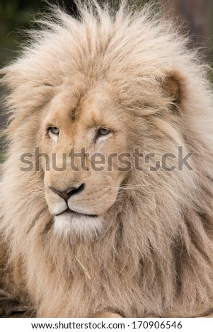 White lion showing off his maine - stock photo