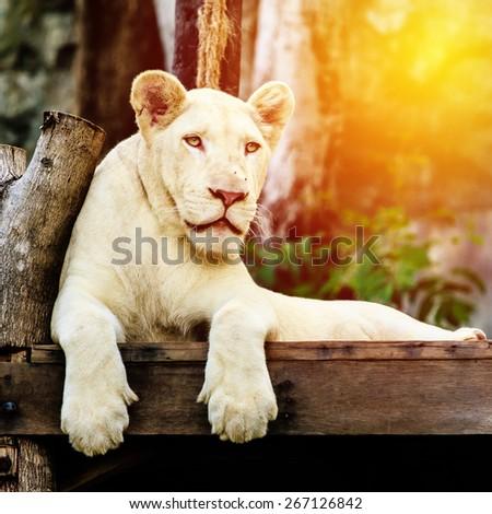 White lion. Vintage filter. - stock photo