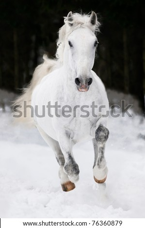 white Lipizzan horse runs gallop on the dark background - stock photo