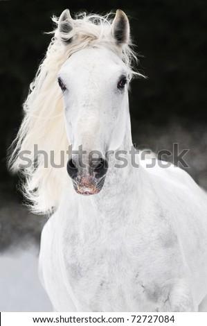 white Lipizzaner horse runs gallop on the dark background - stock photo
