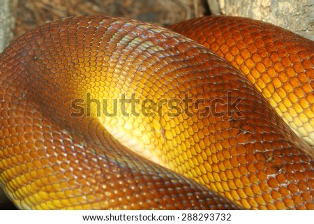 White-lipped Python (Leiopython albertisii) snake skin - stock photo