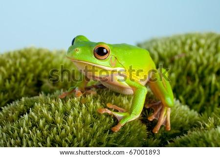 White-lipped tree frog or Litoria Infrafrenata on moss - stock photo