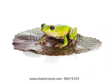 White-lipped tree frog or Litoria Infrafrenata sitting on a leaf - stock photo
