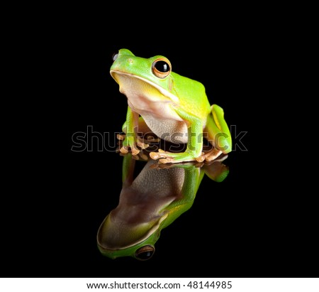 White-lipped tree frog reflected on a black background - stock photo