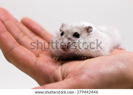 White little hamster on the hand on white background
