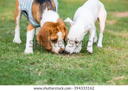 White little Jack russel dog playing with beagle dog
