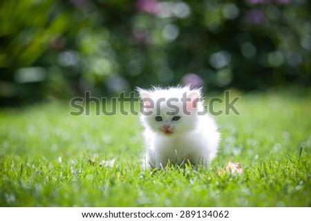 White little kitten running through a green lawn - stock photo
