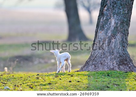 white little lamb on field in spring - stock photo