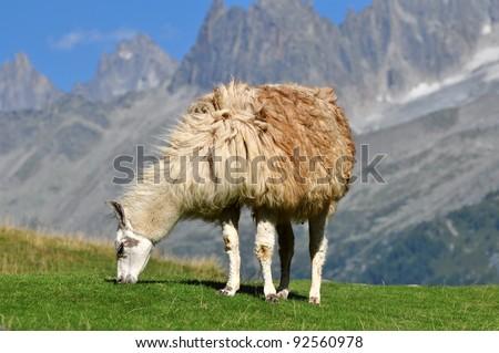 White llama in mountain view - stock photo