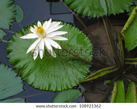 White lotus - stock photo