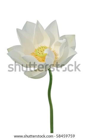 White lotus - stock photo