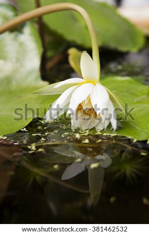 White lotus and its refection in water