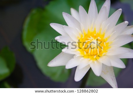 White lotus blooming show lure insect pollination.