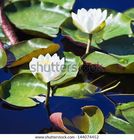 White lotus blossoms or water lily flowers blooming on pond - stock photo